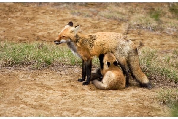 Red Fox baby facts