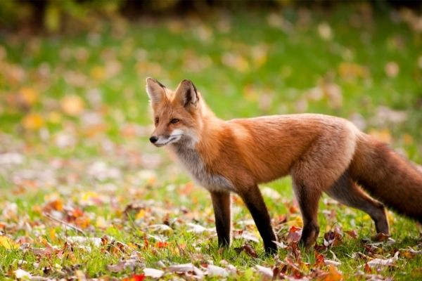 Red Fox facts for kids