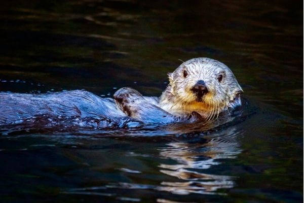 Sea otter facts
