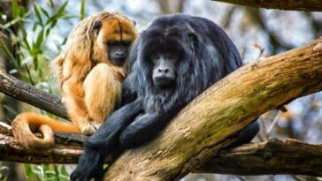 all-about-howler-monkey