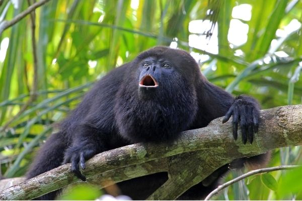 all-about-howler-monkey behaviour