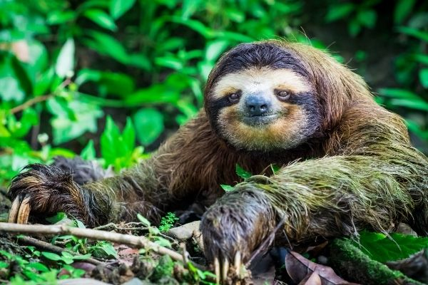 sloth facts