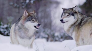 All about gray wolf