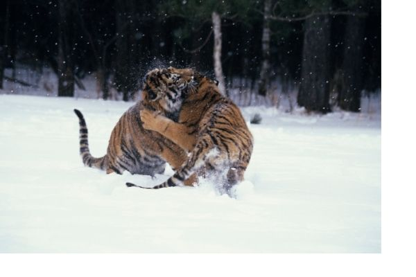 Siberian tiger funny facts