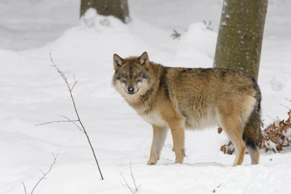 gray wolf facts for kids