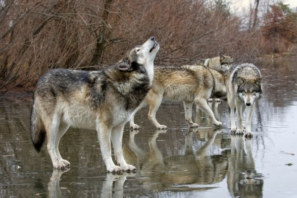 grey wolf pack facts