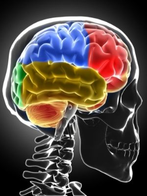 Brain parts facts for kids