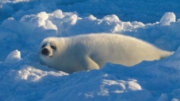 Harp Seal baby facts
