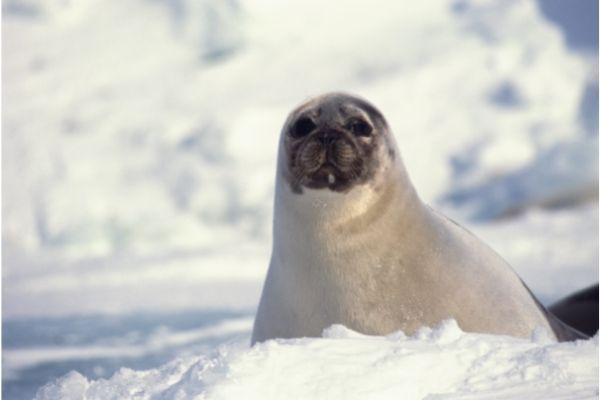 Harp Seal facts for kids