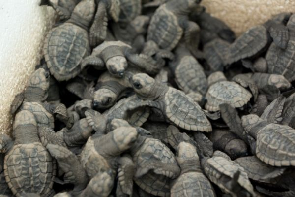 Sea turtle baby facts
