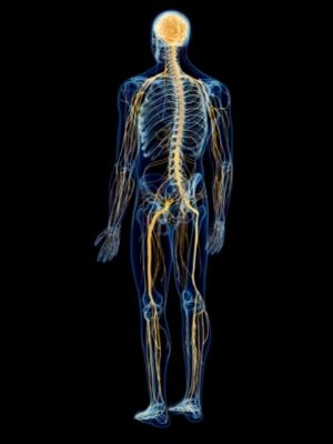 human nervous system facts